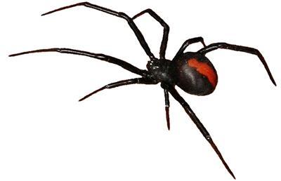 australian-spiders-redback2